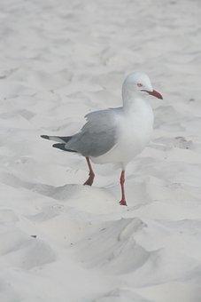 Seagull, Beach, Whitsundays, Vacations