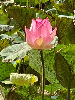 Lotus, Pink, Flower, Vietnam
