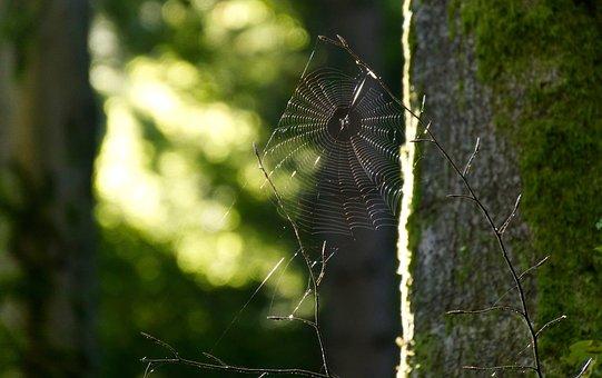 Cobweb, Cobwebs, Spider Webs, Forest, Spider, Web