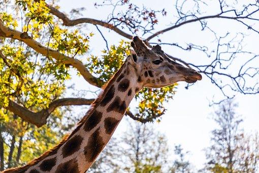 Giraffe, Animal, Nature, Neck, Mammal, Africa, Wild