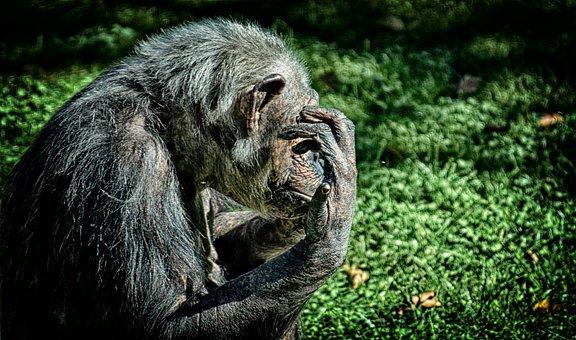 Chimpanzee, Monkey, Animal World, Animal, Ape, Mammal