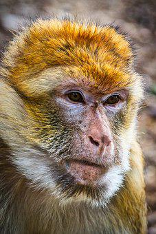 Barbary Ape, Mahogany, Animal, Animal World, Mammal