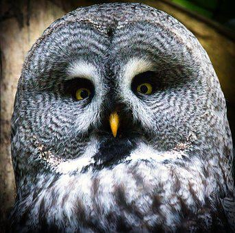 Bart Owl, Owl, Bird, Nature, Close Up, Attention