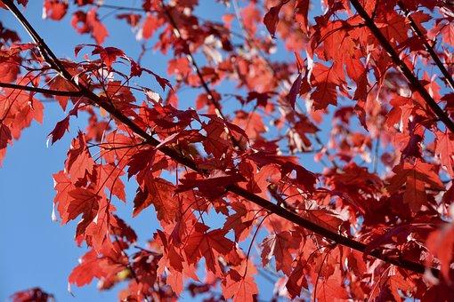 Fall, Red Leaves, Autumn, Blue Sky, Sun, Color, Light