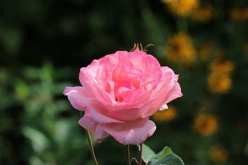 Rose, Flower, Postcard, Love, Beauty, Aroma, Petals