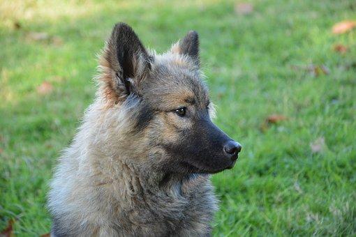 Dog, Bitch, Dog Eurasier Orlaya Blue