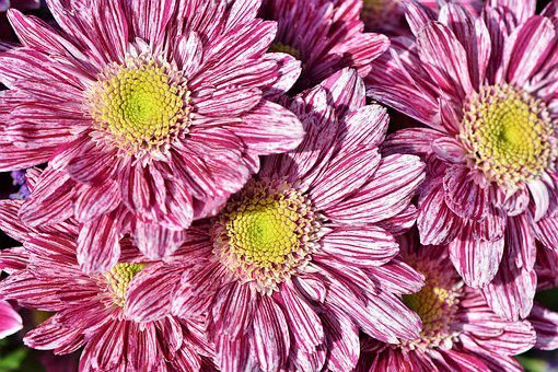 Aster, Composites, Blossom, Bloom, Asteraceae, Plant