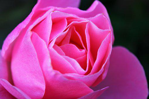 Pink Rose, Rose, Feeling, Pink, The Roses Bloom, Bloom