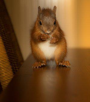 Rodent, Squirrel, Cute, Nager, Animal, Small, Brown