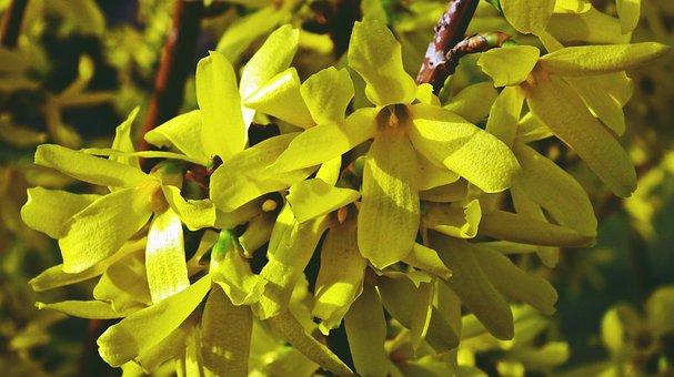 Flower, Forsythia, Yellow, Bush, Nature, Garden