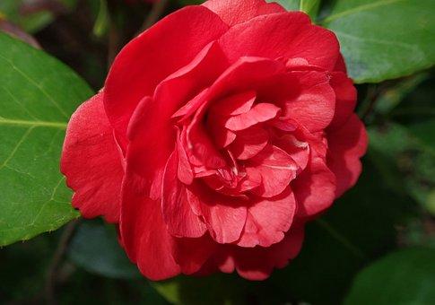 Flower, Camellia, Red, Spring, Garden, Nature