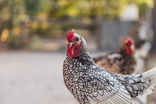 Chicken, Chickens, Poultry, Bird, Animal, Cattle