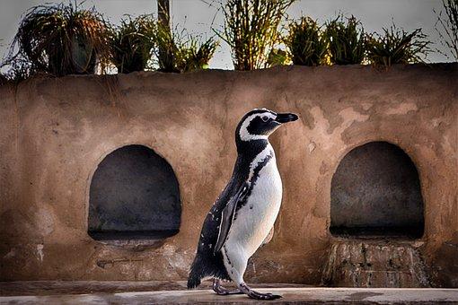 Penguin, Running, Close Up, Bird, Water Bird, Animal