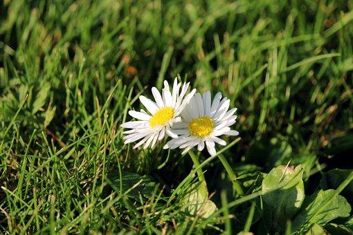 Daisy, Flower, Nature, Spring, Blossom, Bloom, Summer
