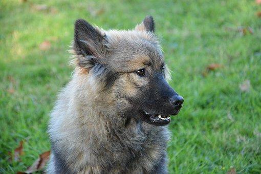 Dog, Bitch, Eurasier Orlaya Blue, Black Muzzle