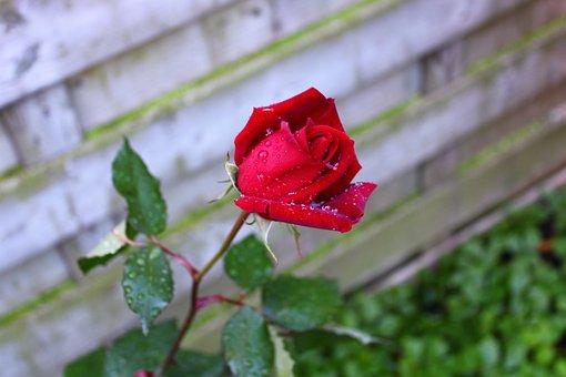 Red Rose, Rose, Red, Drops Of Dew, Bloem, Bloesem