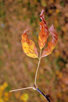 Autumn, Tints, Warm, Colours, Leaves, Dry, Maple