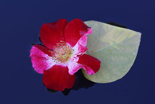Rose, Red, White, Flower, Water, Waterline