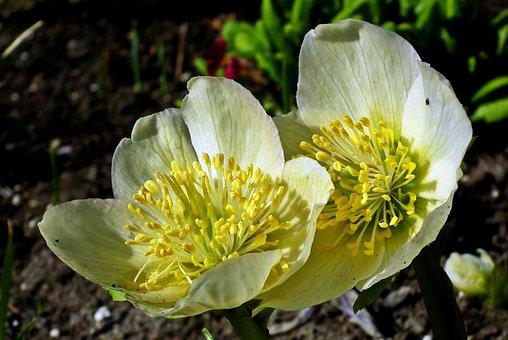 Flower, Hellebore, Spring, Garden, White, Nature