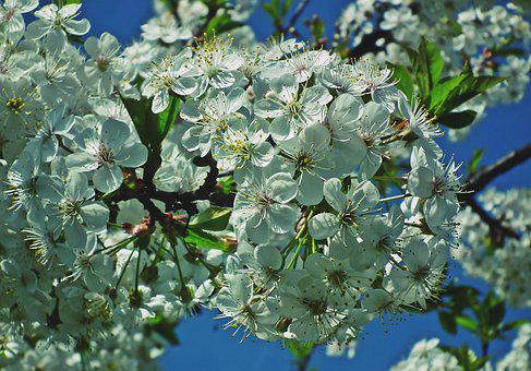 Tree, Cherry, Flowers, Branch, Spring, Nature, Delicate