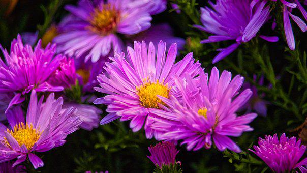 Asters, Bright, Purple, Pink, Autumn, Flowers