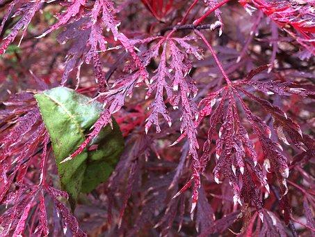 Fuchsia, Foilage, Green, Leaves, Nature, Environment