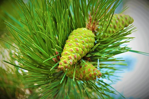 Pine, Cocoon, Tree, Nature, Forest, Green, Trees