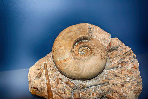 Fossils, Excavation, Ammon's Horns, Snail, Shell