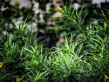 Oleander, Tree, Green, Fresh, Garden, Flowers