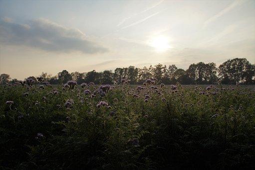 Tansy, Phacelia, Medonosná, Food, The Bees, Green