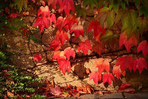 Ivy, Vine, Creeper, Leaves, Foliage, Autumn Colors