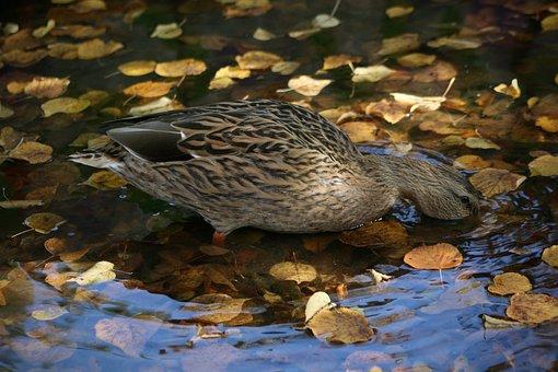 Water Bird, Duck, Mallard, Beams, Water, Leaves