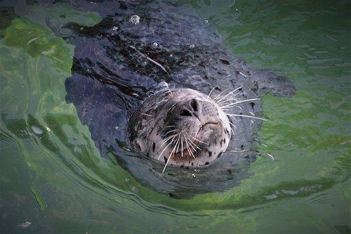 Robbe, Seal, Mammal, Animal, Meeresbewohner, Water