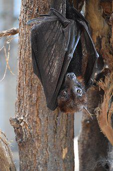 Bat, Nature, Animal, Wings, Mammals, Wild, Vampire