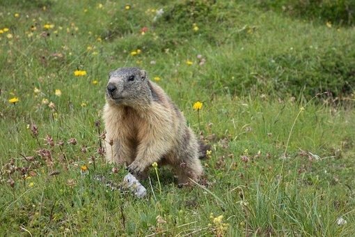 Marmot, Alpine, Rodent, Alpine Marmot, Marmota