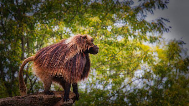 Dschelada, The Blood Breast Baboons, Monkey, Primates