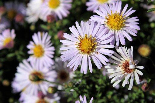 Aster, Aster Amellus, Natur, Flower, Garden, Nature