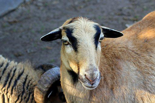 Sheep, Animal, Nature, Figure, Mammal