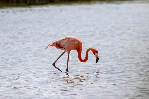 Cuba, Cienaga De Zapata, Flamingo, Wildlife, Nature