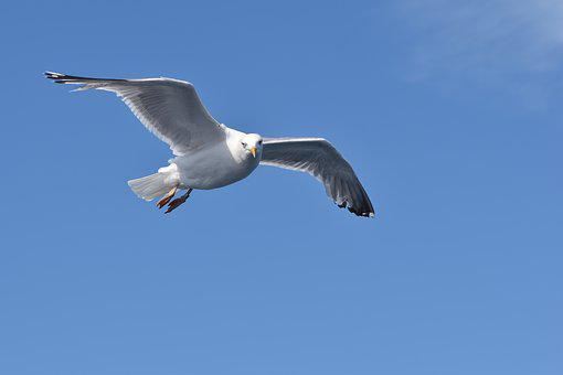 Seagull, Flight, Bird, Wild Animal, Nature, Seevogel