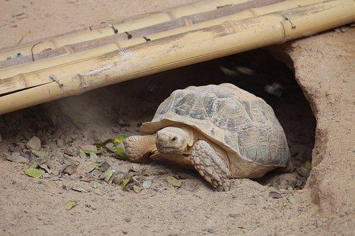 Turtle, Animals, Reptile, Armored, Nature