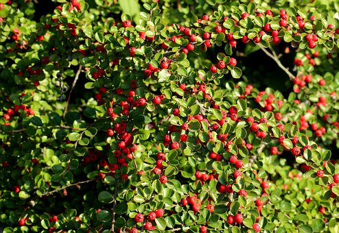 Cotoneaster, Red Fruits, Ornamental Shrub, Autumn, Red