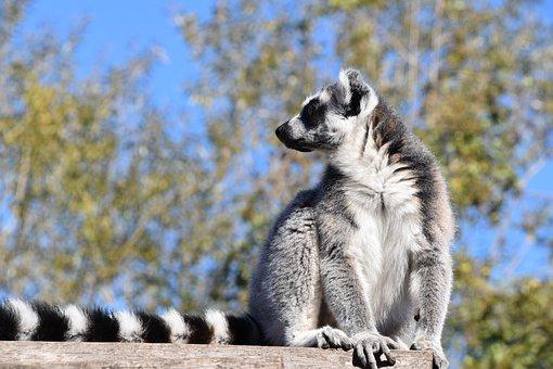 Maki Catta, Lemur, Madagascar, Pairi Daiza, Stripes