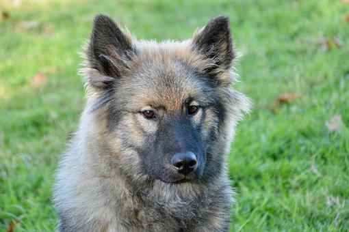Dog, Bitch, Dog Eurasier Orlaya Blue, Pet Dog, Eurasier