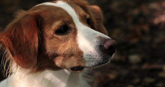Dog, Kooikerhondje, Profile, Kooiker, Pet, Stoeberhund