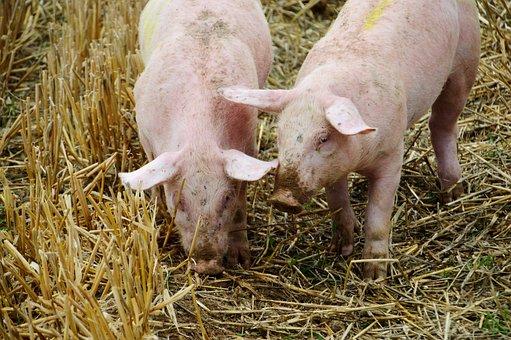 Breeding, Pig, Pork, Swine, Piglet, Mammals, Farm, Pigs