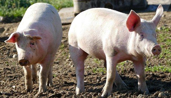 Nature, Agriculture, Pigs, Piglet, Sun, Light, Grunt