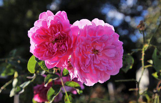 Autumn, Rose, Pink, Plant, The Smell Of, Garden