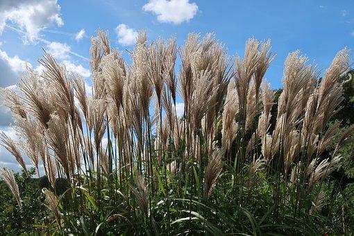 Reed, Grass, Grassenfamilie, Phragmites, Plume, Plumes