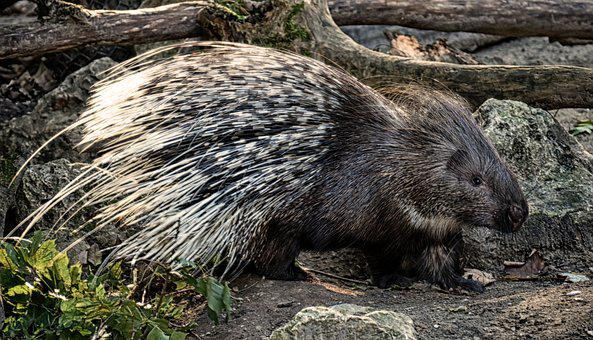 Porcupine, Animal, Spur, Prickly, Of Course